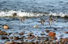 Ringed Plovers in a synchronised take off at Findhorn.