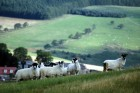 Grazing sheep. Aberdeenshire.