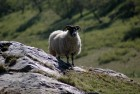 Lone sheep.