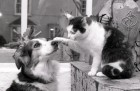 Barney the cat who survived living in the sewers for 13 days re-united with his chum Silk. 10/2/87. Ref 158/23
