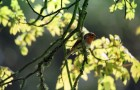 A robin in the trees at Cotehele.
